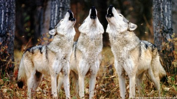 Howling wolves --- Image by © Tim Davis/CORBIS